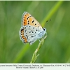 lycaena thersamon daghestan male 1