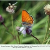 lycaena thersamon daghestan male 2