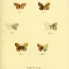 papilio thersamon plate