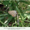 satyrium spini female oviposition mashuk 1