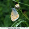 coenonympha leander male3 daghestan